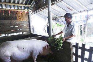 VCCI: Quy định cấm dùng bèo tây, thân cây chuối… trong chăn nuôi cản trở tự do sáng tạo, sáng kiến