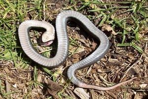 Loài rắn chuyên ngoác miệng giả chết như zombie để qua mắt kẻ thù