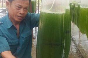 Chuyện lạ Thái Bình: Nuôi thứ nước xanh lè mà 'rót' ra trăm triệu