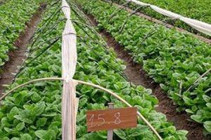 Nông dân 'bắt tay' doanh nghiệp trồng rau theo chuỗi