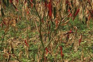 Lạng Sơn: Dân bất an khi ruộng ớt tua tủa trái, qua 1 đêm cháy sạch