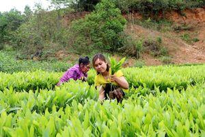 Đẩy mạnh phát triển trồng rừng nguyên liệu