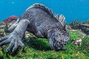 Gương mặt đáng sợ 'quái vật' Gozilla của biển cả