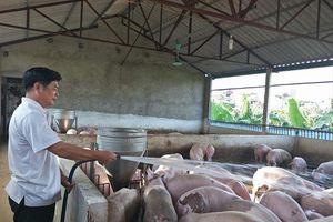 Dịch tả lợn châu Phi càn quét 55 tỉnh thành: Có thể ban bố tình trạng khẩn cấp