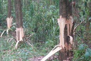 TT-Huế: Bí thư Đảng ủy kiêm Chủ tịch xã bị tố phá hoại cây của dân