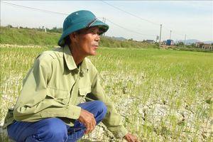 Quảng Bình: Hàng ngàn ha lúa hè thu có nguy cơ mất trắng