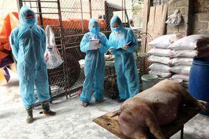 Phòng, chống dịch tả lợn châu Phi: Lo thiếu kinh phí hỗ trợ