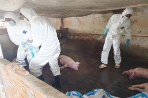 Sóc Trăng tiêu hủy gần 50 tấn thịt lợn do dịch tả lợn châu Phi