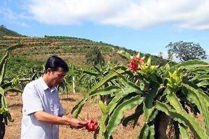 Thành lập hợp tác xã chuyên về sản xuất thanh long tại Lâm Đồng