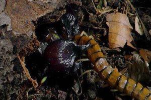 Rết độc tử chiến với bọ cạp càng đỏ
