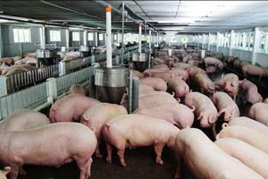 Chăn nuôi an toàn sinh học để kiểm soát dịch bệnh