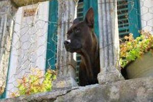 Phạt nặng việc nhốt chó trên ban công