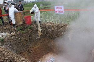Hà Nội tiêu hủy 363.812 con lợn mắc bệnh dịch tả lợn châu Phi