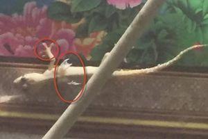 Thực hư clip thằn lằn có cánh và móng vuốt ở Bạc Liêu?