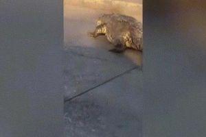 Mexico: Cá sấu 'khủng' qua đường, hàng dài ô tô phải xếp hàng chờ đợi