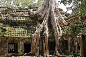 Rễ cây cổ thụ vặn xoắn như trăn khổng lồ muốn 'nuốt chửng' ngôi đền