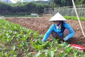Lai Châu: Chỉ trồng hơn 1.000m2 rau xanh, mỗi tháng 'bỏ túi' 7 triệu đồng