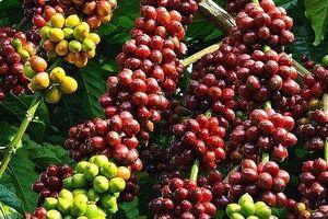 Giá cà phê hôm nay 16/6: Cao nhất 32.500 đồng/kg