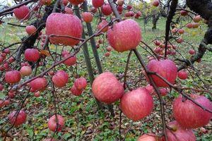Táo Nhật Sekai-ichi 500.000 đồng/quả được trồng thế nào?