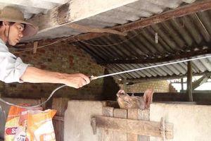 Xuất hiện dịch tả lợn châu Phi tại Phú Yên
