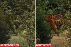 Vì sao hổ có màu cam nổi vẫn là hung thần rừng xanh?