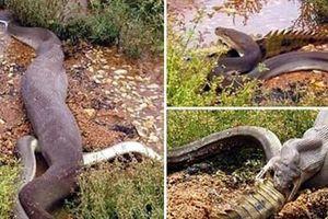 Trăn khổng lồ cắn xé cá sấu, nuốt chửng đầy kinh hãi