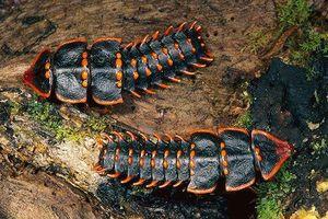 Phát hiện loài bọ quý hiếm nửa thế kỷ mới gặp một lần ở Singapore