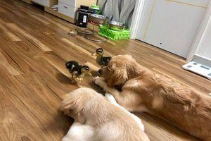 Ngôi nhà Sài Gòn có một tình bạn '4 pet' thật đặc biệt: Trứng vịt lộn nở ra 2 chú vịt con, trở thành bạn thân của 2 chú chó