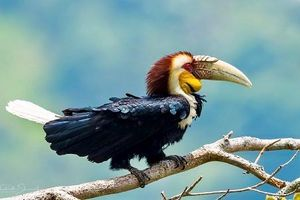 Độc đáo loài niệc mỏ vằn cực quý hiếm, tuyệt đẹp của VN