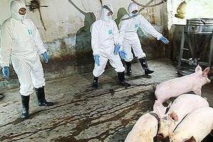 Hà Nội: Bảo đảm kinh phí cho công tác phòng, chống bệnh dịch tả lợn châu Phi