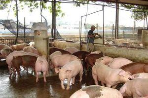 Nhiều hộ nông dân bán tháo lợn để chạy dịch
