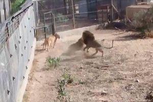 CLIP: Hai con sư tử đực hỗn chiến trong mùa giao phối