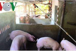 Xuất hiện ổ dịch tả lợn châu Phi tại Phú Yên