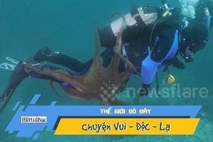 Bạch tuộc khổng lồ điên cuồng bám theo thợ lặn