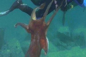 Thợ lặn đang bơi bất ngờ bị bạch tuộc khổng lồ tấn công