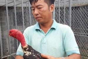 Bỏ việc Nhà nước về quê chỉ vì đam mê nuôi loài gà ham 'đánh võ'