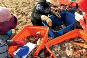 Đáng ngại: Săn bắt vô tội vạ, 'sâm đại dương' ngày càng khan hiếm