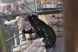 Tổ chức Động vật châu Á cứu hộ khẩn một cá thể gấu ngựa tại Lạng Sơn