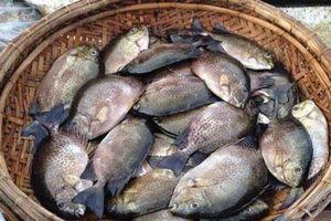 Thừa Thiên Huế: Ông Hưng gặp ông Hối bắt tay nhau nuôi cá dìa, cả 2 thành tỷ phú