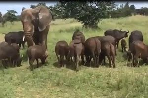 CLIP: Đàn trâu nuôi dưỡng và sống chung với voi khổng lồ