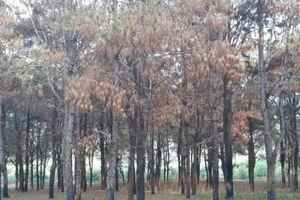 Vụ 'bức tử' hàng trăm héc ta rừng thông tại Gia Lai: Yêu cầu công an vào cuộc