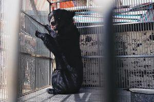 Giải cứu gấu ngựa từng được trùm ma túy nuôi nhốt ở Lạng Sơn