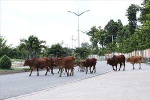 Thả rong gia súc tràn ra cả đường, tiềm ẩn nguy cơ gây tai nạn