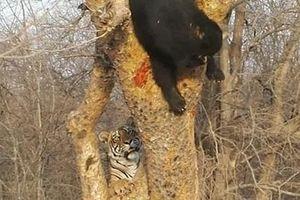 Gầm gừ dọa gấu đen, hổ non nhận cái kết bẽ bàng