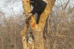 Hổ hoảng sợ rơi xuống đất vì dọa gấu đen không thành