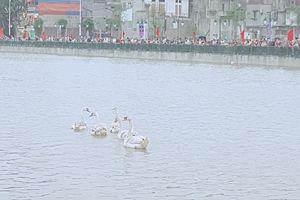 Hải Phòng: Thả thêm 15 đôi thiên nga để tạo điểm nhấn sinh động cho dòng sông Tam Bạc