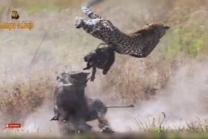 Liều lĩnh săn lợn rừng, báo đốm nhận thất bại ê chề