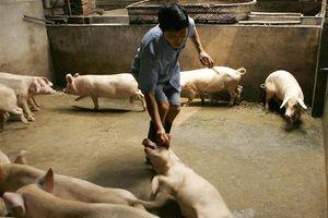 Dịch tả lợn châu Phi bùng phát tại Tây Nam Trung Quốc
