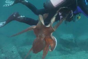 Thợ lặn sợ chết khiếp khi bị bạch tuộc tấn công ở Biển Nhật Bản
