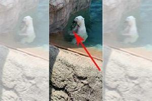 Hãi hùng gấu Bắc Cực ăn sống vịt trong vườn thú